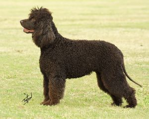 Irish Water-Spaniel