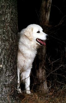 represented dog photographers/david dalton/outside standing pastoral white hiding trees