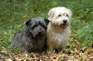 <b>Glen Of Imaal Terrier</b><br>Selection of 21 items