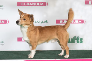 PORTUGUESE PODENGO Best of Breed Crufts 2017