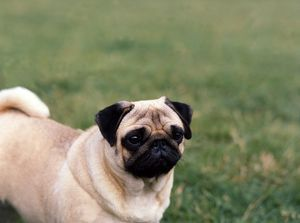 diane pearce/toy group/pug