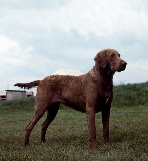Retriever (Chesapeake Bay)