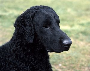 Retriever (Curly Coated)
