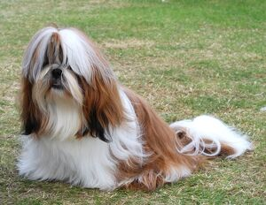 <b>Shih Tzu</b><br>Selection of 4 items