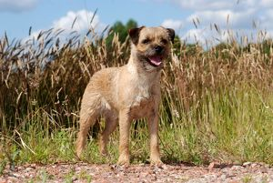represented dog photographers/alice van kempen/standing field terrier summer open mouth outside