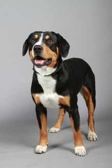ENTLEBUCHER MOUNTAIN DOG (IMP)