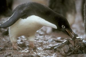 Adelie Penguin (Pygoscelis adeliae) gather stones for nest. Antarctica Pen