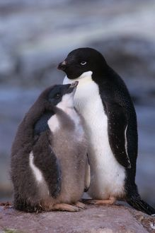 Adelie Penguin (Pygoscelis adeliae)adult with chick. Antarctica Pen