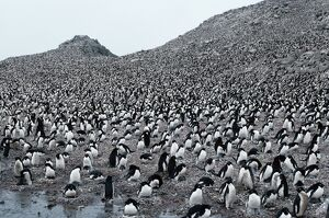 Adelie Penguins (Pygoscelis adeliae), world's largest colony, Antarctica