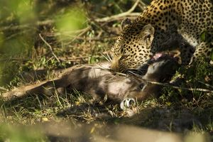 African Leopard (Panthera pardus) feeding on young Defassa Waterbuck, Upper Masai