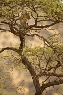 African Leopard (Panthera pardus) sitting in a tree in the Samburu Game Reserve