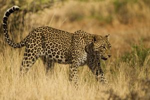 African Leopard (Panthera pardus) walking in savannah in the Samburu Game Reserve