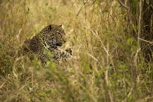 African Leopard (Panthera pardus)in the grass in the Masai Mara Game Reserve