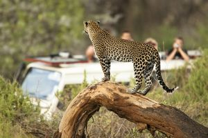 African Leopard (Panthera pardus) observing the tourists, Masai Mara Game Reserve