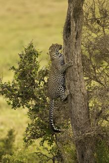 African Leopard (Panthera pardus) climbing tree in the Lower Mara, Masai Mara Game Reserve