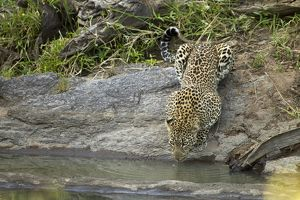 African Leopard (Panthera pardus) drinking at river, Upper Mara, Masai Mara Game Reserve