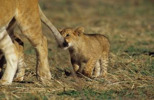 African Lion Cub biting Mom's Tail (Panthera leo), Masai Mara Gr, Kenya