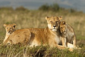 African Lion (Panthera leo) adult female and cub socializing in the Masai Mara Game