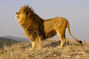 animals/mc donald wildlife photograhy/african lion panthera leo barbary lion subspecies