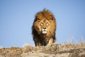 African Lion, Panthera leo, Barbary Lion subspecies extinct in the wild