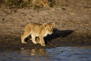 African Lion (Panthera leo) cub drinking at water hole, Masai Mara Game Reserve