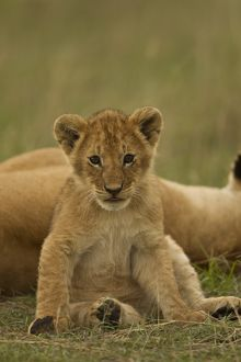 African Lion (Panthera leo) cubs grooming in the Masai Mara Game Reserve, Kenya, Africa