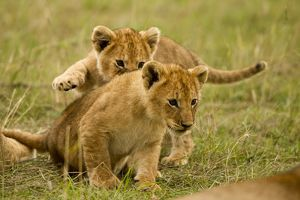African Lion (Panthera leo) cubs playing in the Masai Mara Game Reserve, Kenya, Africa