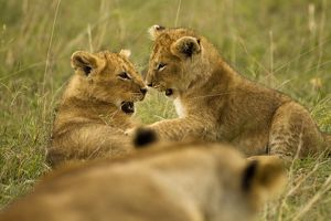 big cats/african lion panthera leo cubs playing masai