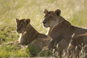 African Lion, Panthera leo, interacting with lion cub. Masai Mara GR, Kenya