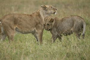 African Lion (Panthera leo) juveniles playing, Upper Mara, Masai Mara Game Reserve