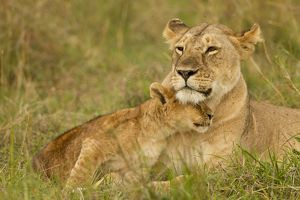 African Lion (Panthera leo) lioness with cubs in the Masai Mara Game Reserve