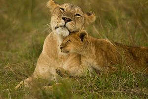 African Lion, Panthera leo, lioness with cubs in the Masai Mara Game Reserve, flies