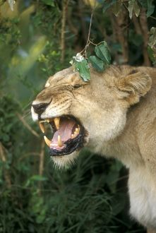 African Lioness Yawning