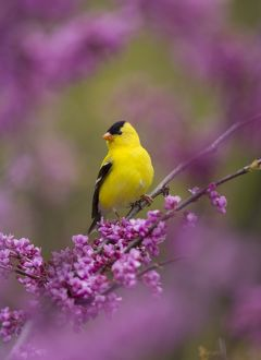 American Goldfinch (Carduelis tristis) male perched in flowering Eastern Redbud