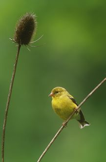 American Goldfinch (Carduelis tristis), PA, female