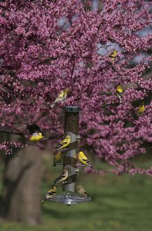 American Goldfinches on Nyjer/Thistle Tube Feeder in Redbud Tree, Illinois