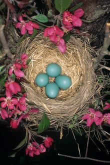 American Robin Nest in Crabapple Tree, Ithaca, NY (Turdus migratorius)- Eggs