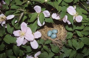 American Robin Nest w 3 Eggs in Pink Perfection Clematis (Turdus migratorius) Illinois