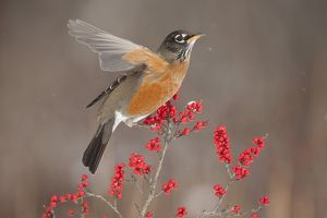 American Robin (Turdus migratorius), attracted to feed on winterberry (Ilex) fruits