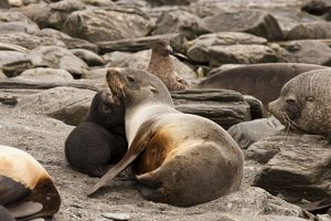 Antarctic Fur Seal (Arctocephalus gazella) aka Southern Fur Seal, Five day old seal