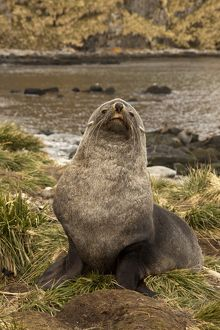 Antarctic Fur Seal (Arctocephalus gazella) Bull hauled out onto tussock grass before