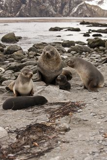 Antarctic Fur Seal (Arctocephalus gazella) Week old baby on beach with mother