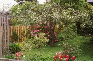 Apple Tree Rome Beauty in Bloom w/ Rhododendron Trude Webster & Tulips