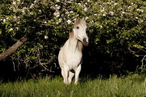 Arabian Horse by apple tree in early evening light; Fort Bragg, California