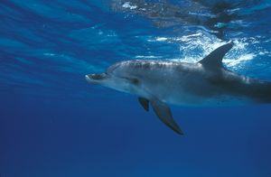 Atlantic Spotted Dolphin (Stenella frontalis) Bahamas (Caribbean)