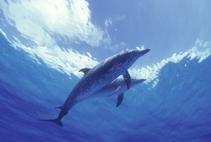 Atlantic Spotted Dolphins (Stenella frontalis) Bahamas (Caribbean)