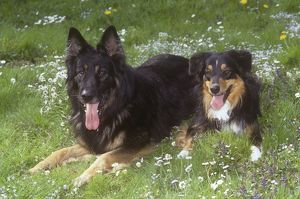 Australian Shepherd and Mixed Breed Dog