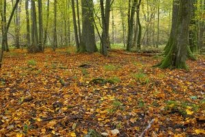 Autumn leaves, primal eastern European hardwood forest, Bialowieza National Park, Poland