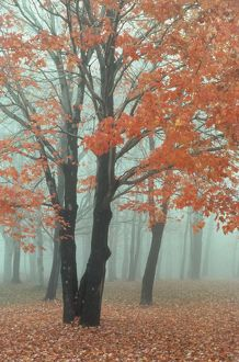 Autumn Maple in Fog, Canaan Valley NF, West Virginia