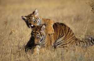 Baby Bengal Tigers playing